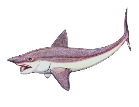 Helicoprion buzzsaw-mouth shark